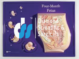 Foetus Model, four month – Edulab