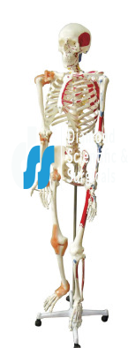 Model, Skeleton With Muscles and Joint Ligaments